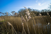Grasses and reeds in a reedbed by the marshes of The Somerset Levels Nature Reserve in Southern England, UK