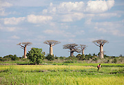 A man working in the fields amongst towering Baobab tree, near Morondava, Madagascar
