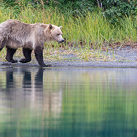 Grizzly bear walking along the shore of the Chilko river, British Columbia, Canada.