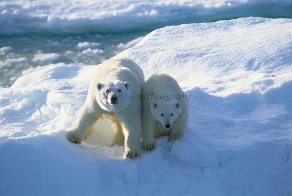 Polar Bear Mother & Cub<br /> Ursus maritimus<br /> Chuckchi Sea<br /> RUSSIAN FAR EAST