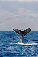 Humpback Whale, Megaptera novaeangliae, Tail Wave 3 of 8, Maui Hawaii