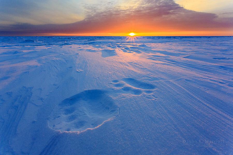 Polar bear tracks in Nunavut, Canada