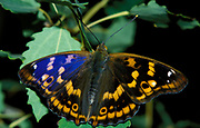 Lesser or Small Purple Emperor Butterfly, Apatura ilia, resting on leaf showing blue purple sheen colour to wings, found in woodlands