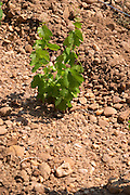 marsanne recently planted vines sandy soil vineyard mas du notaire rhone france