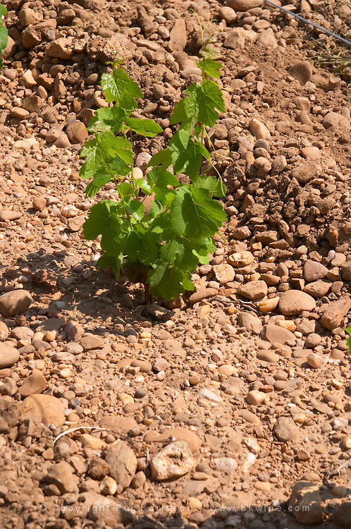 marsanne recently planted vines sandy soil vineyard mas du notaire rhone france