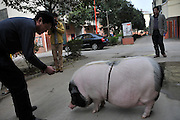 JIANHU, CHINA - APRIL 11: (CHINA OUT) <br /> <br /> 61kg Pet Pig In Jiangsu<br /> <br /> A man measures Tao Liqin\'s pet pig, 61kg in weight, on April 11, 2014 in Jianhu, Jiangsu Province of China. Tao\'s granddaughter spent 700 yuan (106 USD) to buy the pet pig, who was 1kg in weight, online last year. And it suddenly started to grow after being castrated. ©Exclusivepix