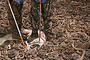 Jaycee volunteer snake handlers stand among hundreds of western diamondback rattlesnakes in a snake pit during the 51st Annual Sweetwater Texas Rattlesnake Round-Up March 13, 2009 in Sweetwater, Texas. During the three-day event approximately 240,000 pounds of rattlesnake will be collected, milked and served to support charity.