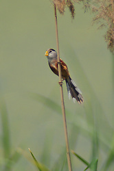 June 1, 2017 - Qingdao, Qingdao, China - Qingdao, CHINA-June 1 2017: (EDITORIAL USE ONLY. CHINA OUT) A spot-breasted parrotbill at the wetland in Qingdao,east China's Shandong Province. Spot-breasted parrotbill, dubbed as 'living fossil of birds', is a species of bird in the Sylviidae family. It is found in Bangladesh, China, India, Laos, Myanmar, Thailand, and Vietnam. (Credit Image: © SIPA Asia via ZUMA Wire)