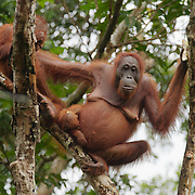Orangutan mother and newborn with older baby still trying to sucker in Tanjung Puting National Park. Central Kalimantan region, Borneo.