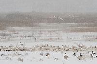 Whooper Swan (Cygnus cygnus), Lake Tysslingen, Sweden. March 2009. Mission: Sweden (crane and swan)