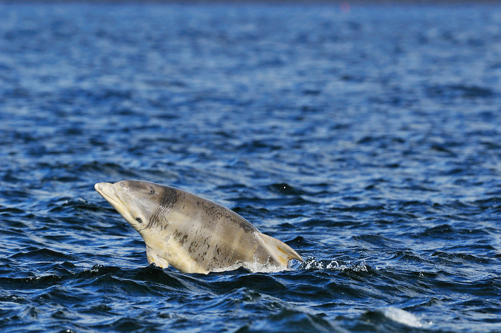 Juvenile Bottle-nosed Dolphins playing / spy-hopping,<br /> Tursiops truncatus,<br /> Moray Firth, Nr Inverness, Scotland - June