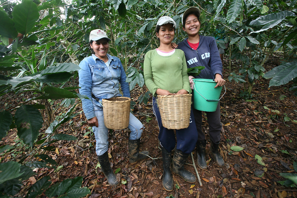 Three young women pick coffee on a COCATRAL farm