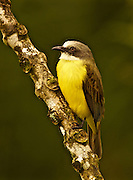 Grey-capped Flycatcher, myiozetetes granadensis, Arenal Cloud Forest, Costa Rica
