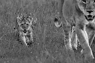 Hungry lion cub follows in Mother's footsteps. Lioness leads her cub to the meaty hidden spoils from the hunt earlier in the day. Magic of Maasai Mara Kenya.