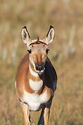 Close-up of female Pronghorn (antelope) in autumn habitat.