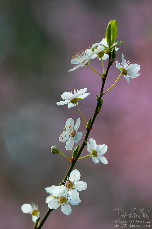 Nearly a dozen cherry blossoms sprout on a single branch of a tree in Snohomish County, Washington.