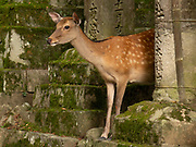 Stone lanterns with a deer leading up to the Kasuga Taisha Shrine, Nara, Japan. Deer are able to roam freely and are believed to be sacred messengers of the Shinto gods