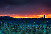 """A fiery, late-autumn sunset colors the skies over the Coyote Mountains and the saguaros (Carnegiea gigantea) of Saguaro National Park near Tucson, Arizona. Saguaros are a type of cactus native to the Sonoran Desert and are noted for their """"arms."""""""