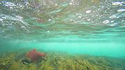 Sockeye salmon, Kisaralik River, Alaska