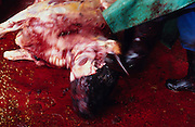 Europe, Great Britain, Midlands. Abattoir. Beasts unfit for normal consumption are butchered. Some will be turned into pet and animal food. 1996.'MEAT' across the World..foto © Nigel Dickinson