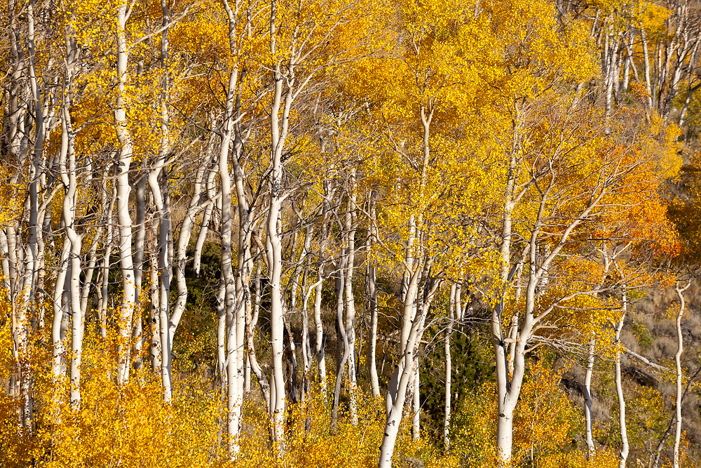 A gnarled stand of high altitude aspen grace a mountain slope in the Wind River Range of Wyoming.