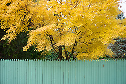 colorful maple tree in Fall behind a green fence