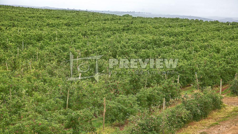Pomares de maçã na sede da Frutini Fruticultura Aliprandini, em Vacaria. FOTO: Jefferson Bernardes/Preview.com