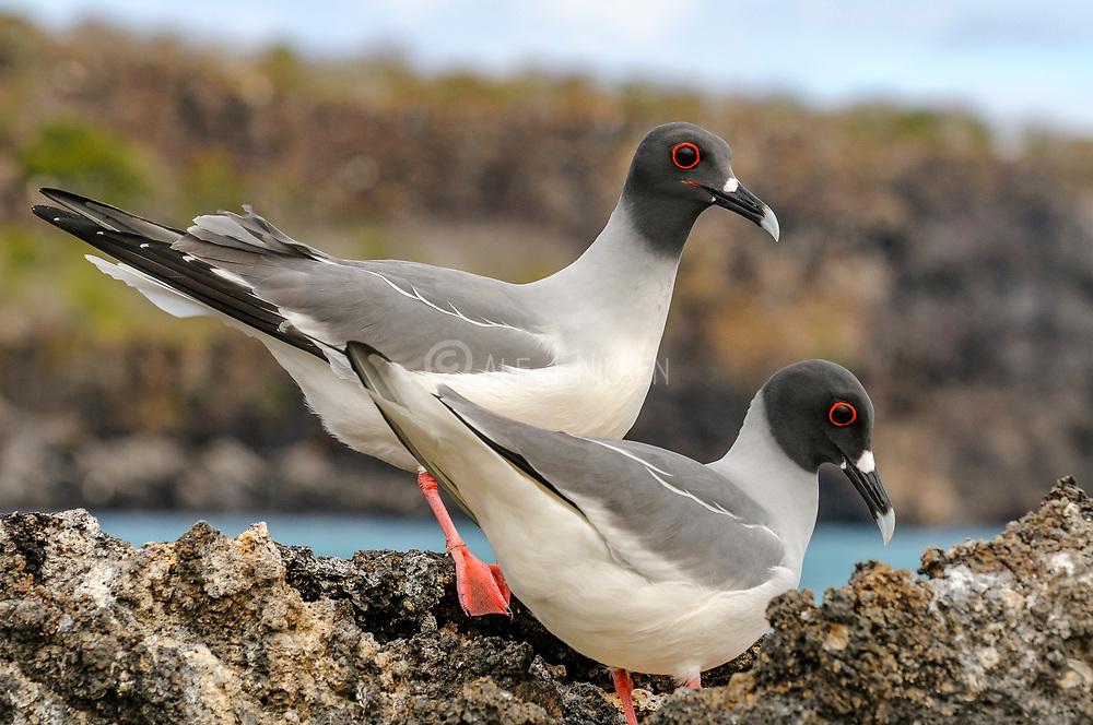 Pair of swallow-tailed gulls (Creagus furcatus) from Genovesa, Galapagos.
