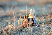 Sharptailed Grouse Performs Mating Dance