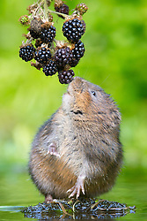 © under license to London News Pictures. 04/09/13 Kent UK. A water vole eats from a branch full of blackberries dangling over the river. Photographer Ian Schofield sat in a river for over 12 hours wearing waders along with his camera and tripod to capture these stunning shots of one of Britain's rarest animals, the water vole. He waited from 7am before a flurry of activity at lunchtime when one of the most endangered  mammals in the UK became hungry and left its burrow. Nearly 90% of water voles have disappeared in the last decade from the UK, mainly due to habitat loss and predators such as the American mink. The water vole's habitat can be found throughout England, Wales and Scotland. Photo credit should read IAN SCHOFIELD/LNP<br />