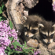 Raccoon, (Procyon lotor) Young in hollow log near lilac bush. Montana. Captive Animal.