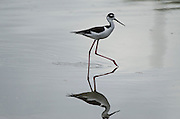 Black-necked Stilt (Himantopus mexicanus)<br /> BONAIRE, Netherlands Antilles, Caribbean<br /> HABITAT & DISTRIBUTION: Wetlands and Coastlines, from California through western United States, Gulf of Mexico, Florida, Central America, Caribbean to northwest Brazil southwest Peru, east Ecuador and the Galápagos Islands.