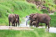 African elephant (Loxodonta africana). Photographed in Tanzania