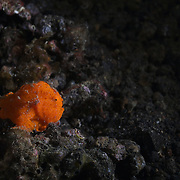 Small orange painted frogfish (Antennarius pictus) waiting patiently at night for potential prey to swim by. Photographed in the Lembeh Strait, North Sulawesi, Indonesia.