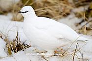 00841-00104 Rock Ptarmigan (Lagopus mutus) Churchill Wildlife Management Area, Churchill, MB Canada