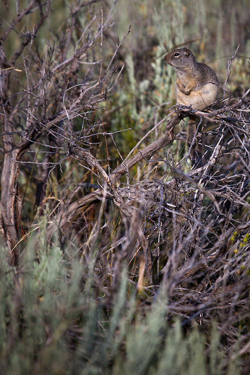 Uinta ground squirrel perched on a bush to warm up in the morning sunshine, Blacktail Plateau Drive, Yellowstone National Park, Wyoming.