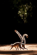 Ring Tailed Lemurs at the Berenty Reserve, Madagascar