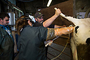 Vet Katharine Blease injects a cleaning antibiotic into a cow's uterus as she has a slight infection after calving. Keeping a healthy herd as well as trying to ensure that each cow has one calf per year and is hopefully therefore served within three months of their previous calf, is a big job and requires a weekly visit from the vet, who checks the health of pre and post natal cows, as well as calves. The atmosphere between the colleagues is both highly professional yet fun. Wildon Grange Dairy Farm, Coxwold, North Yorkshire, UK. Owned and run by the Banks family, dairy farming here is a scientific business. From the breeding, nutrition and health of their closed stock of Holstein Friesian cows, through to the end product, the team here work tirelessly to ensure content and healthy animals, and excellent quality milk.