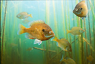 Group of Bluegill<br /> <br /> Roger Peterson/Engbretson Underwater Photo