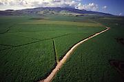 Sugar cane field, Hawaii<br />