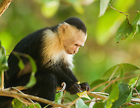 A white-faced capuchin, Cebus capucinus, holds a candy wrapper that it found in a trash can in Manuel Antonio National Park, Costa Rica
