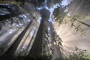 Sunbeams filter through a light layer of fog in California's Redwood National Park.