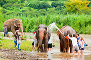 """27 JUNE 2011 - CHIANG MAI, THAILAND: Tourists help bathe elephants at the Elephant Nature Park near Chiang Mai, Thailand. Elephant Nature Park rescues working elephants abused by the owners. Many of the rescued elephants used to work """"begging"""" in the tourist districts of Bangkok and other Thai cities. A few of the elephants were injured by landmines on the Thai-Burma border. The park does not offer elephant rides or shows like most of the other parks in Chiang Mai, instead offering a chance to get close to the animals on a more humane basis.   PHOTO BY JACK KURTZ"""