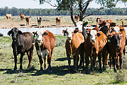 herd of mixed beef cattle at Whetstone, Queensland, Australia <br /> <br /> Editions:- Open Edition Print / Stock Image