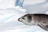 Crabeater seal lazes on the ice in Antarctica.