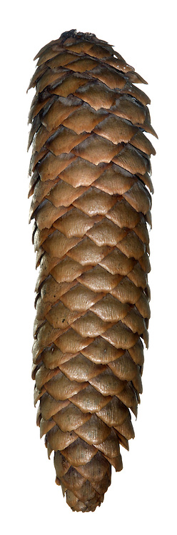 Norway Spruce Picea abies Pinaceae Height to 44m.<br /> Narrowly conical tree and the archetypal Christmas Tree. Bark Brownish, scaly and resinous. Branches almost level. Needles 4-angled on short pegs. Reproductive parts Male cones small, yellowish and clustered near tips of shoots. Female cones, to 18cm long, are pendulous. Status Native of European mountains. Widely planted here as Christmas Trees and in shelter-belts.
