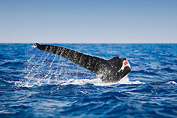 Humpback Whale with mutilated fluke, fluke-up dive, Megaptera novaeangliae, possibly due to a boat strike, Big Island, Hawaii, Pacific Ocean