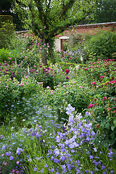 Roses, campanulas and nigella in the rose garden at Mottisfont. Roses include Rosa 'Cardinal de Richelieu', Rosa 'Assemblage des Beautés' with Rosa 'Complicata' trained up a tree in the distance
