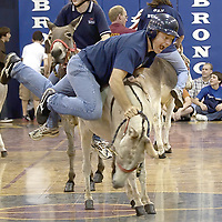 Bay Area Christian coach Keith Kennedy falls off his donkey while trying to play Donkey Basketball against the students.  The game was to raise money for the band to play at a San Antonio Basketball game soon.  <br />   (Photo by Kim Christensen)