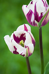 Tulipa 'Rems Favourite'
